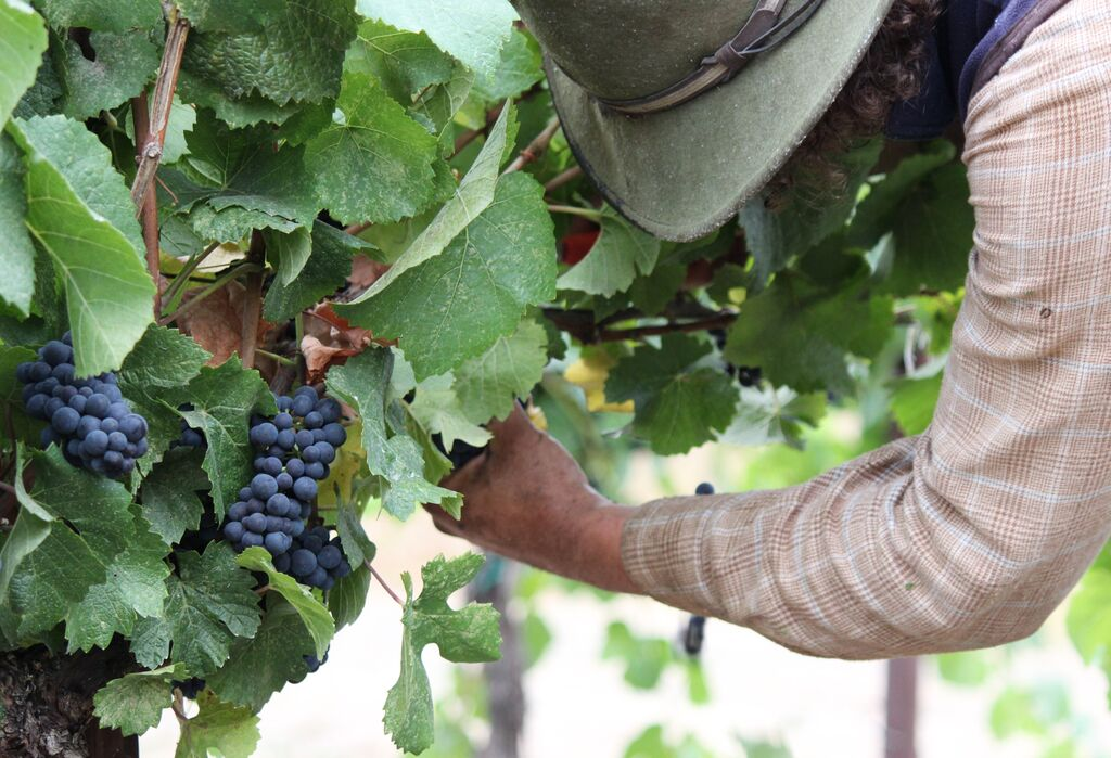 Decisions about trellising and training of the vines impact the way grapes grow and ease of harvesting.