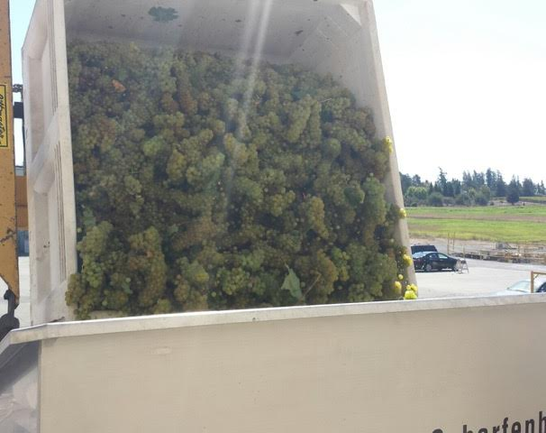 Hyde Vineyard Chardonnay ready for press