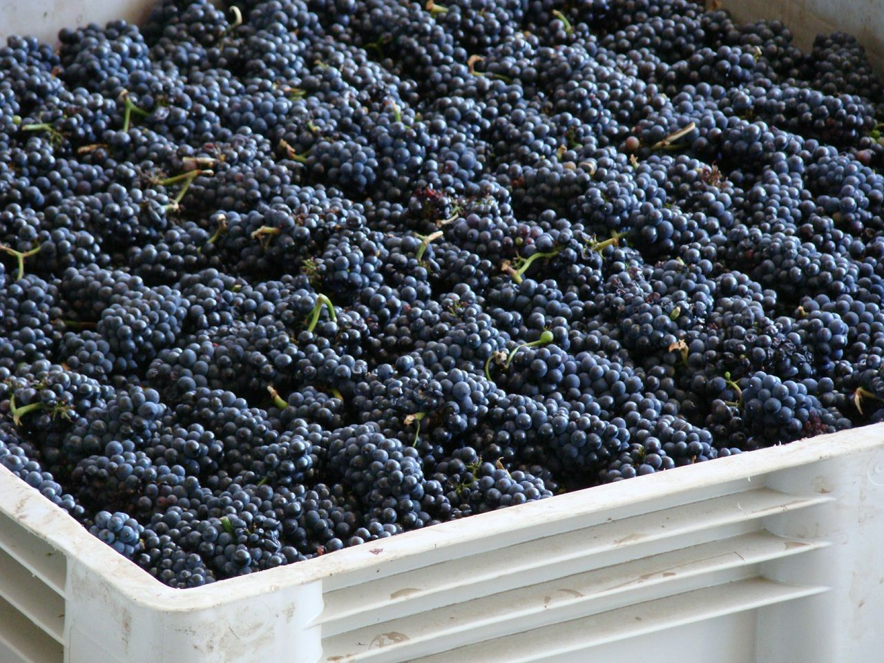 Grapes in a bin ready to be crushed at Rack & Riddle.jpg