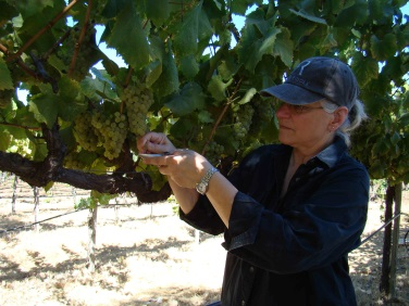 Penny Gadd-Coster checking the sugar levels in grapes.jpg