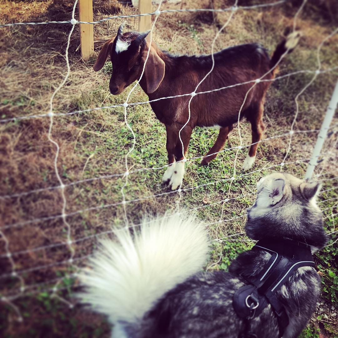 Dogs love visiting with our goats through the fence. We use goats as a chemical-free means of weed and brush control. Our goats, Inky and Wednesday, are just as friendly as dogs and love a good scratch behind the ear.