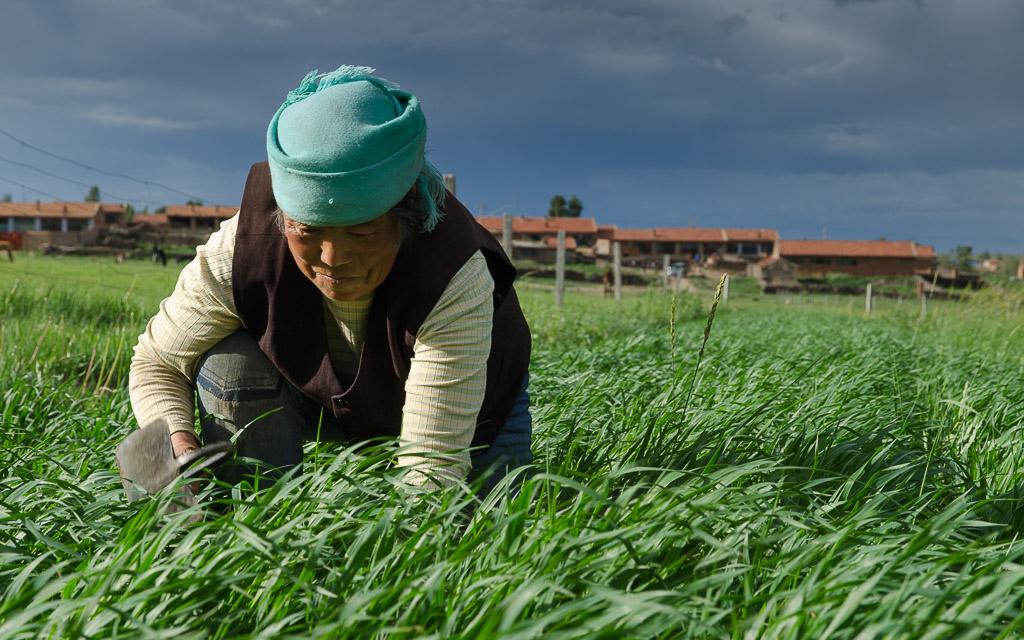 Weeding the oat field