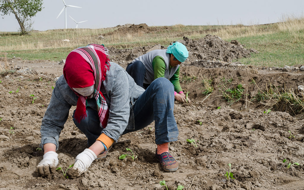 Planting sugar beet seedlings