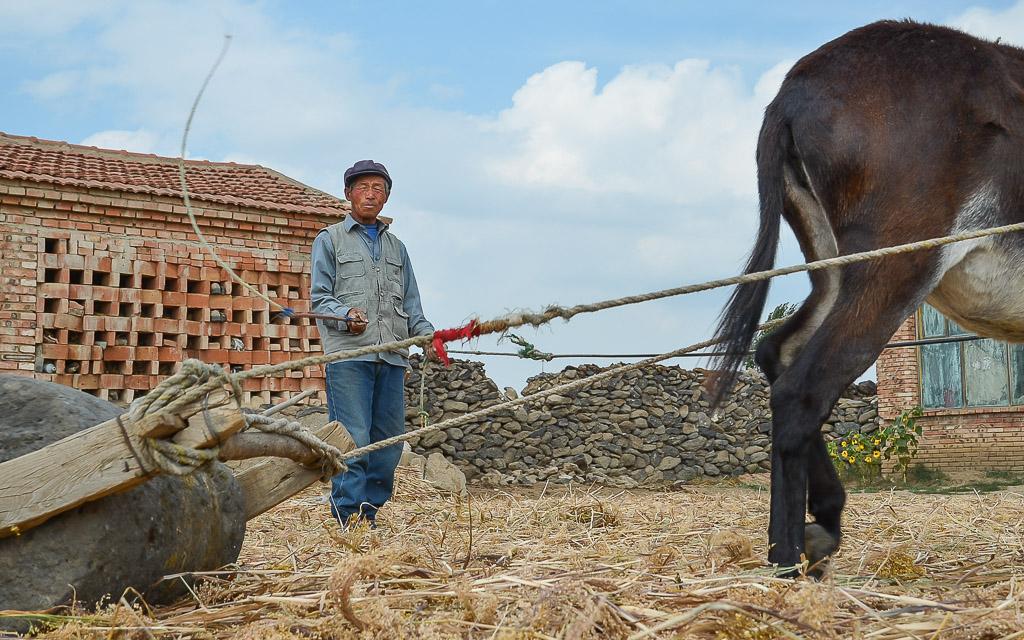 Threshing millet with a donkey-drawn threshing stone
