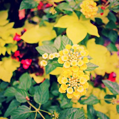 Yellow+Lantana_phixr.jpg