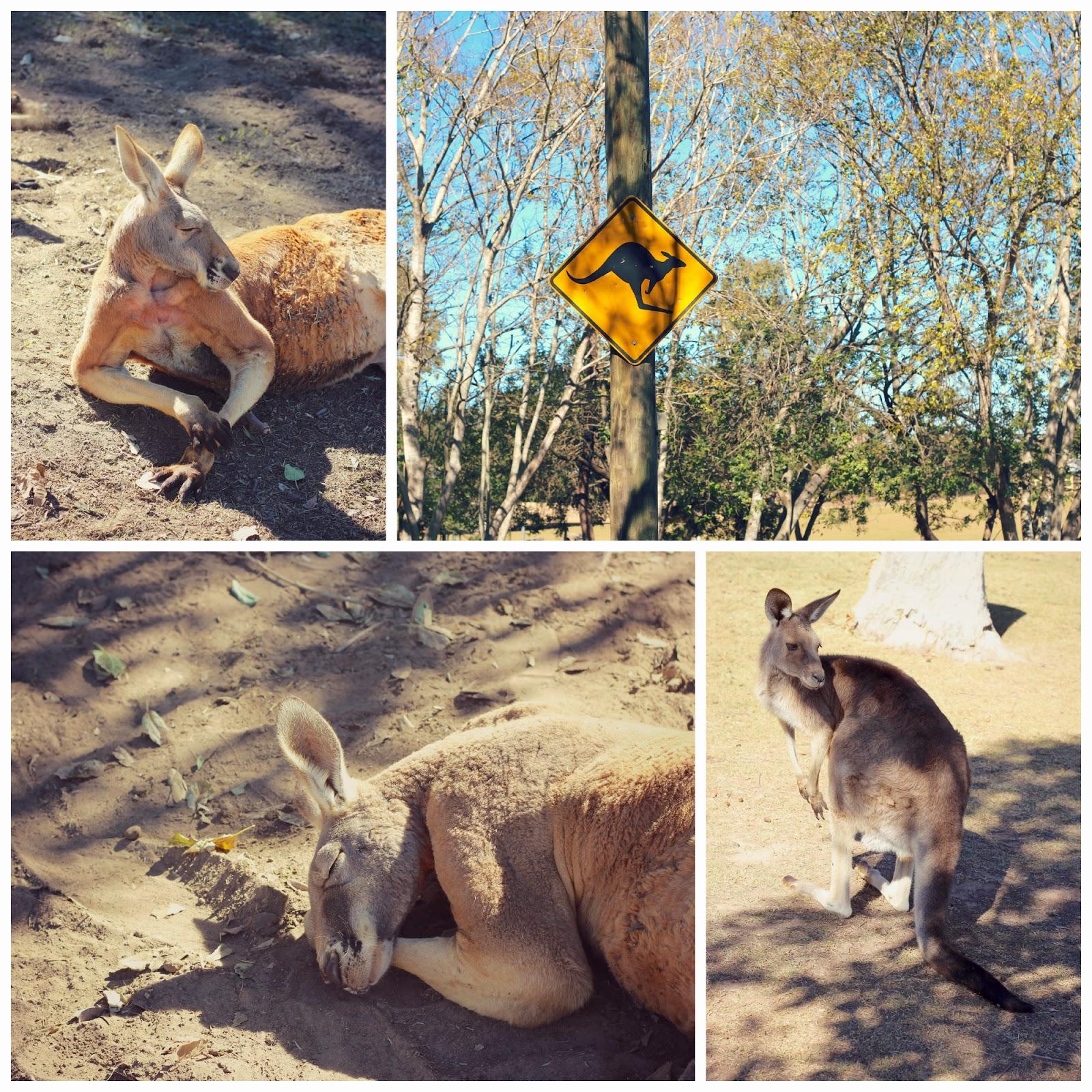 kangaroo%2Bcollage.jpg