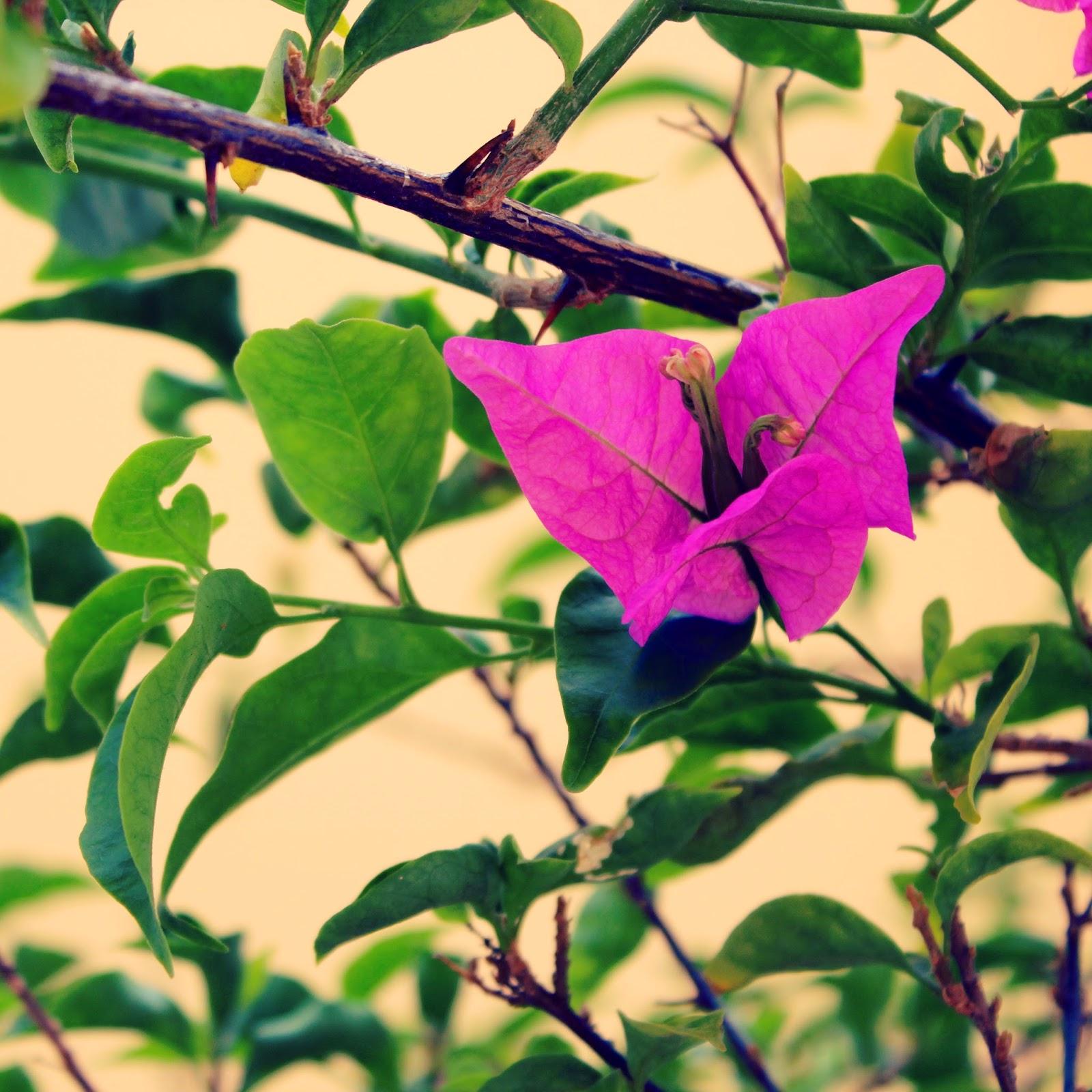 puerto+rico+pink+flower.jpg
