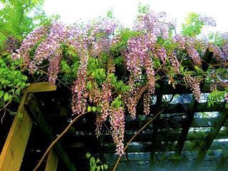 wisteria1.jpg
