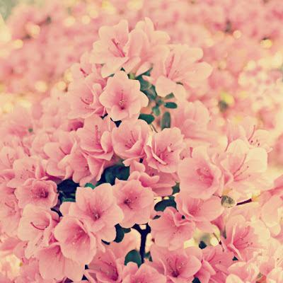 pink+blossoms_phixr.jpg