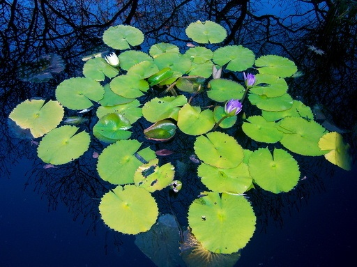 lily+pads+resized.jpg