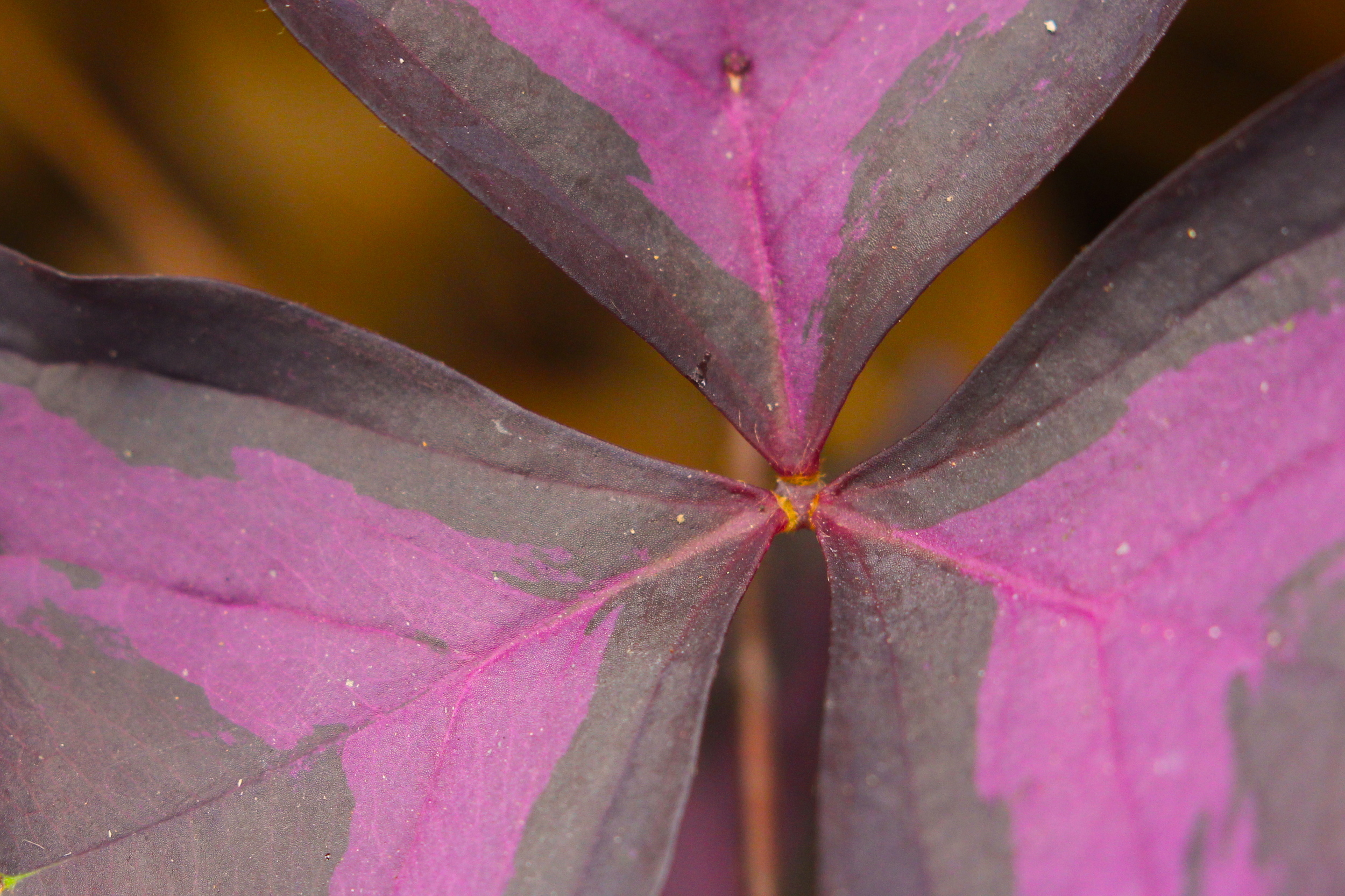 macro nature photo with magenta leaves