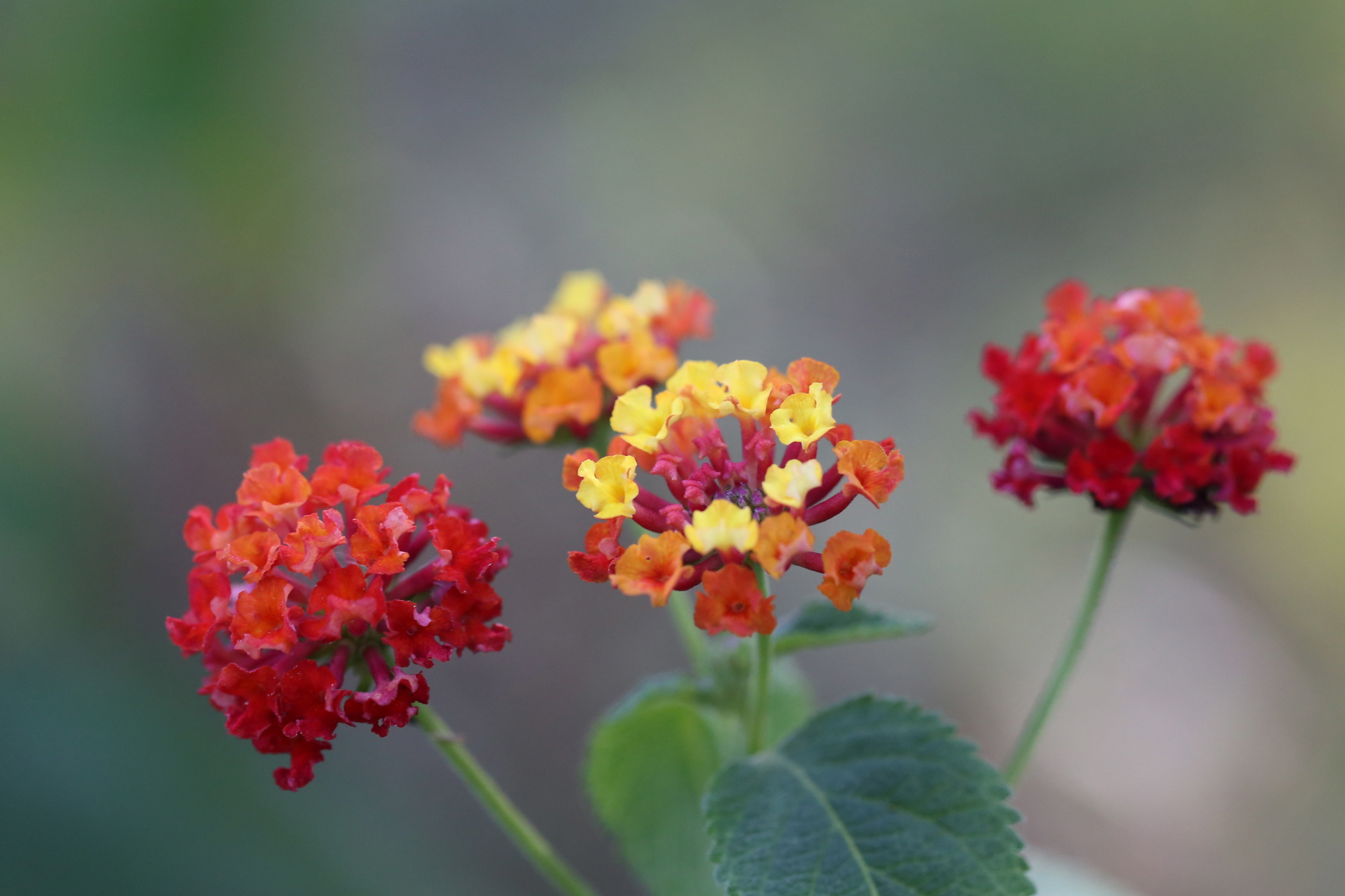 macro lantana flowers (Uninvented Colors Photography)