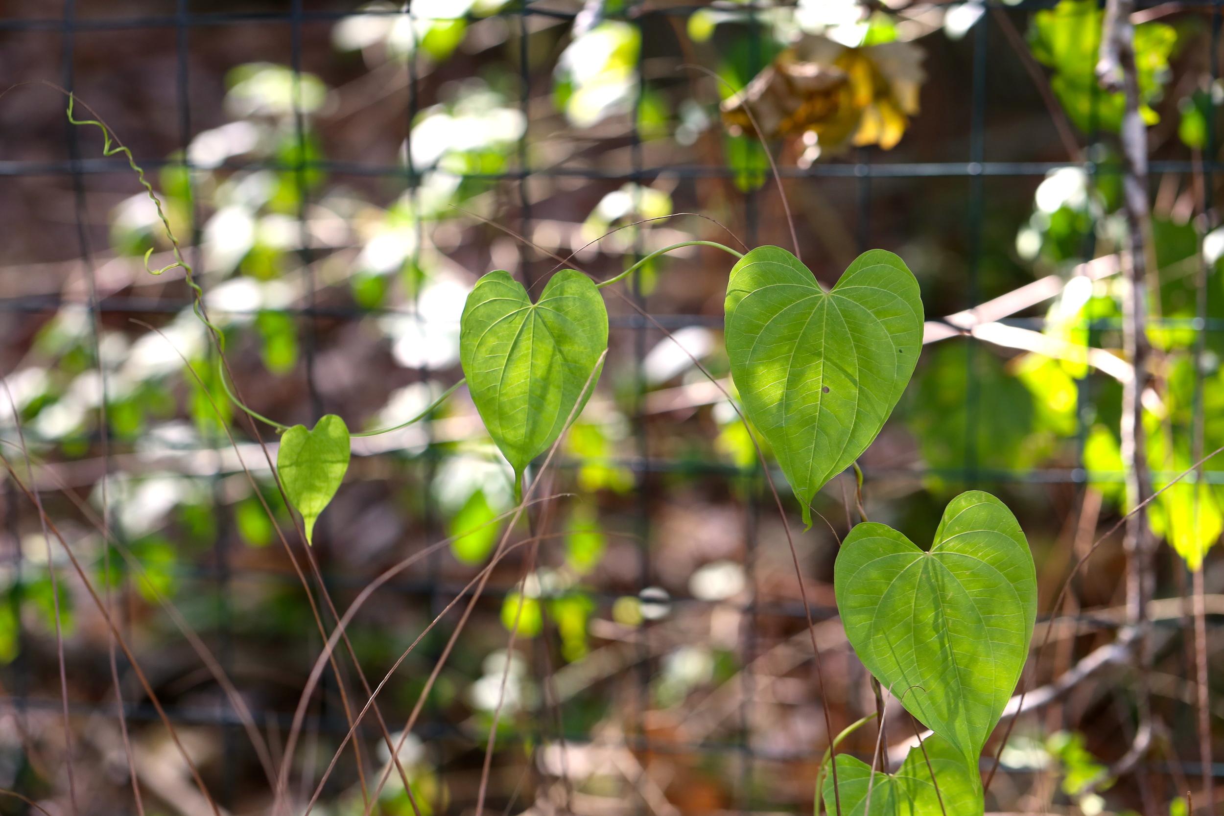 heart shaped leaves
