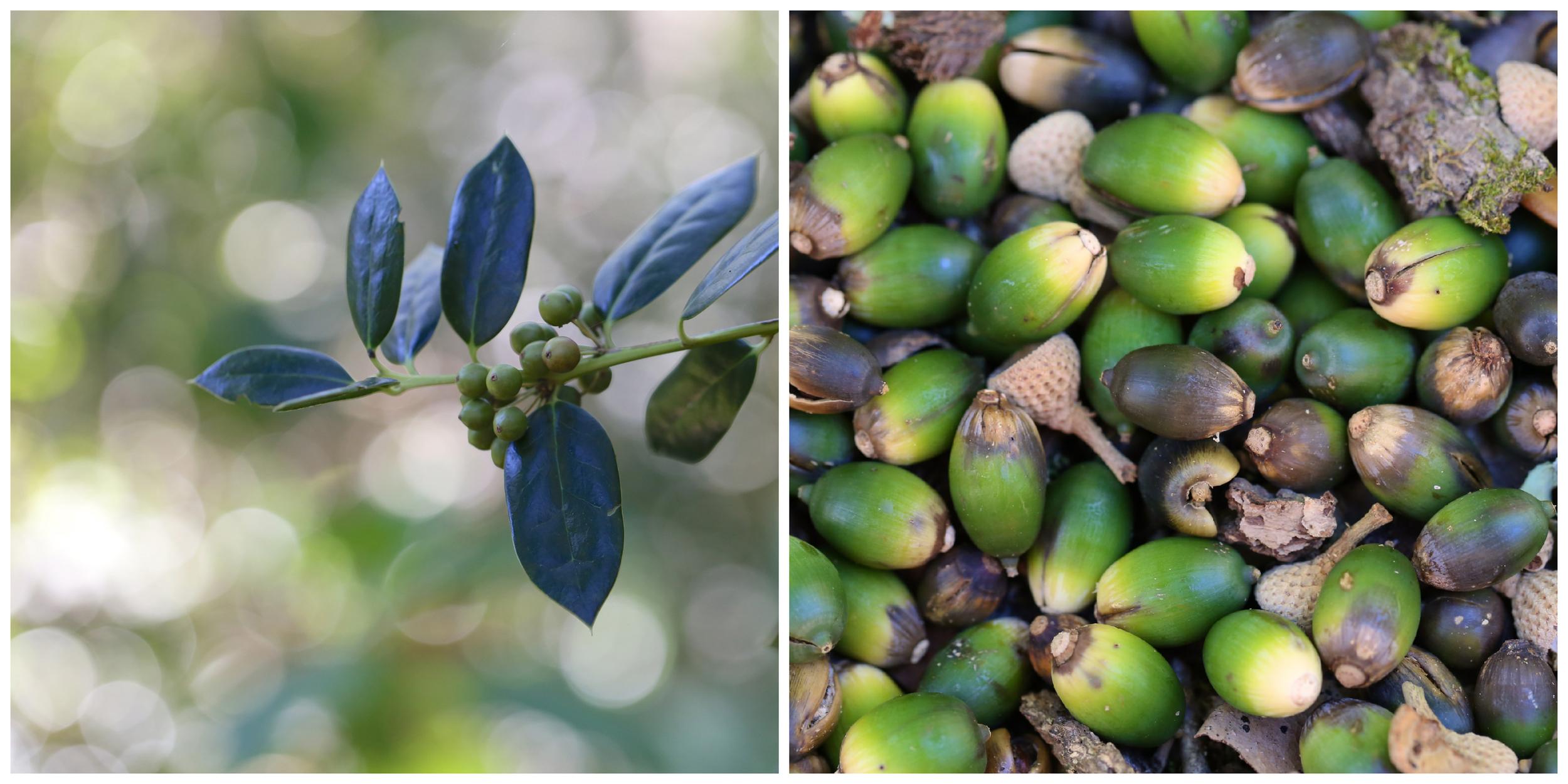 acorns and berries