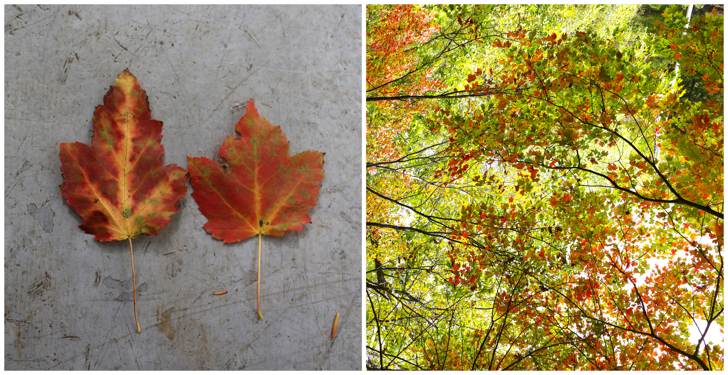 Autumn Leaves (Uninvented Colors Photography)