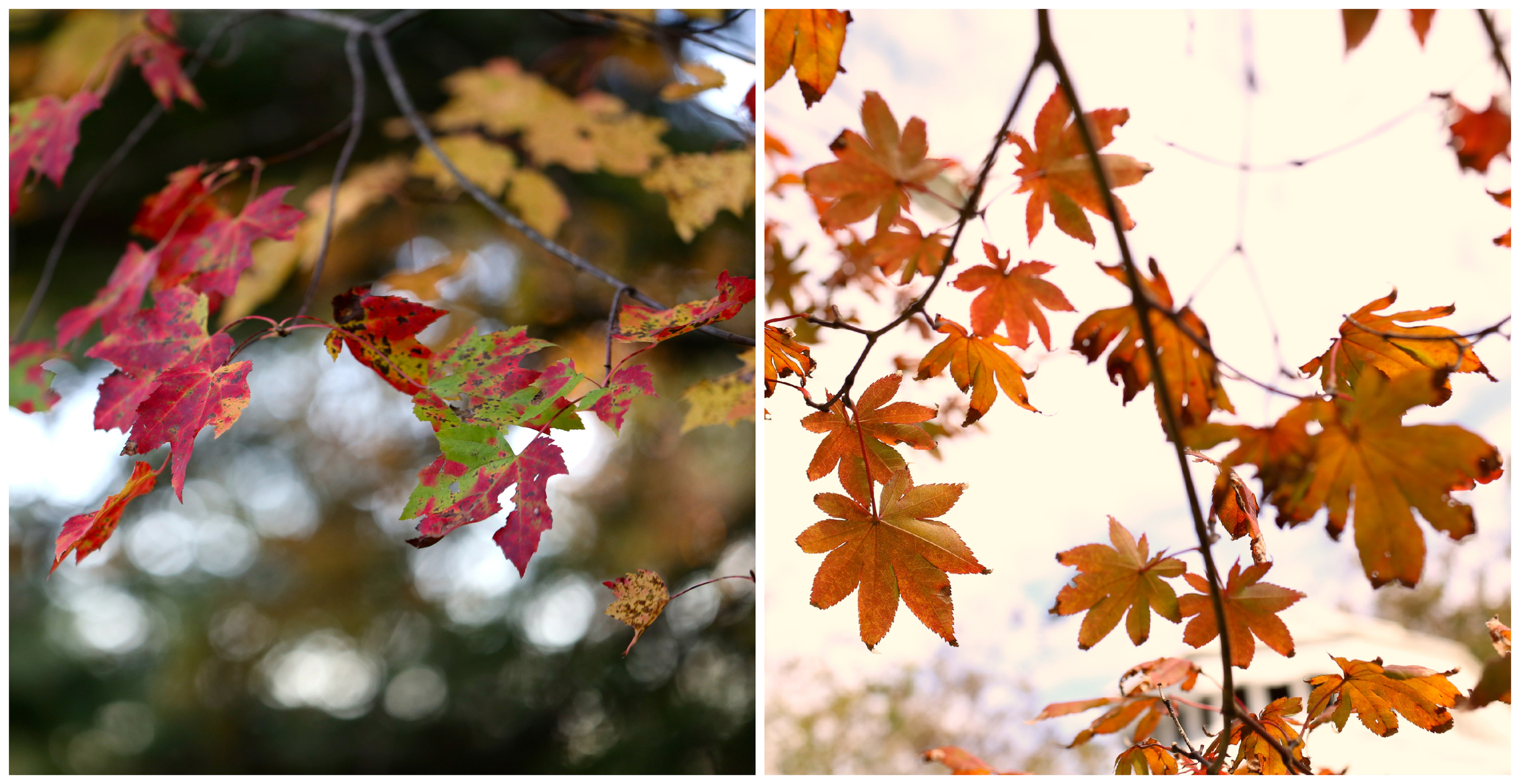 fall leaves (Uninvented Colors Photography)