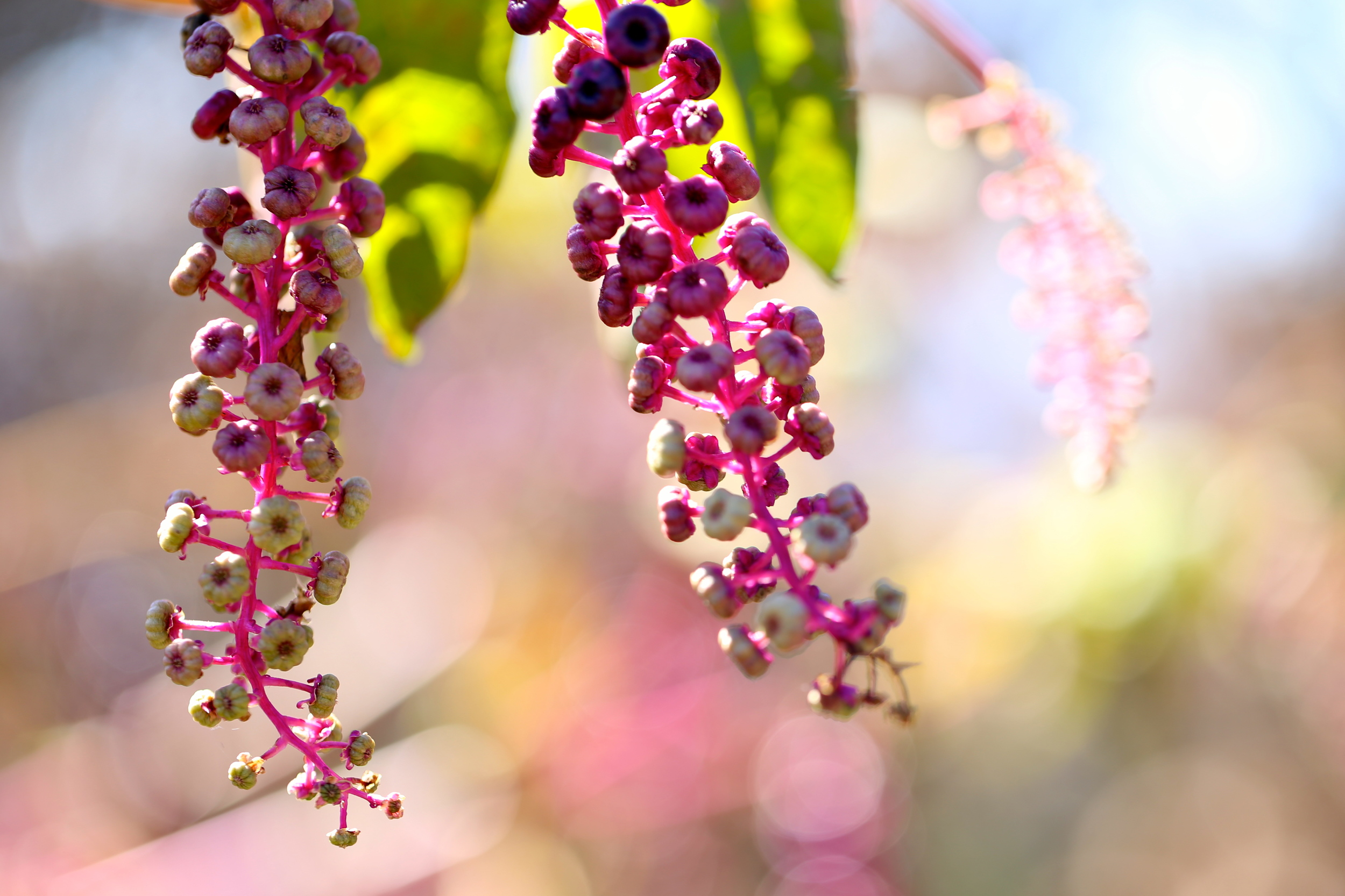 berries and bokeh (Uninvented Colors Photography)