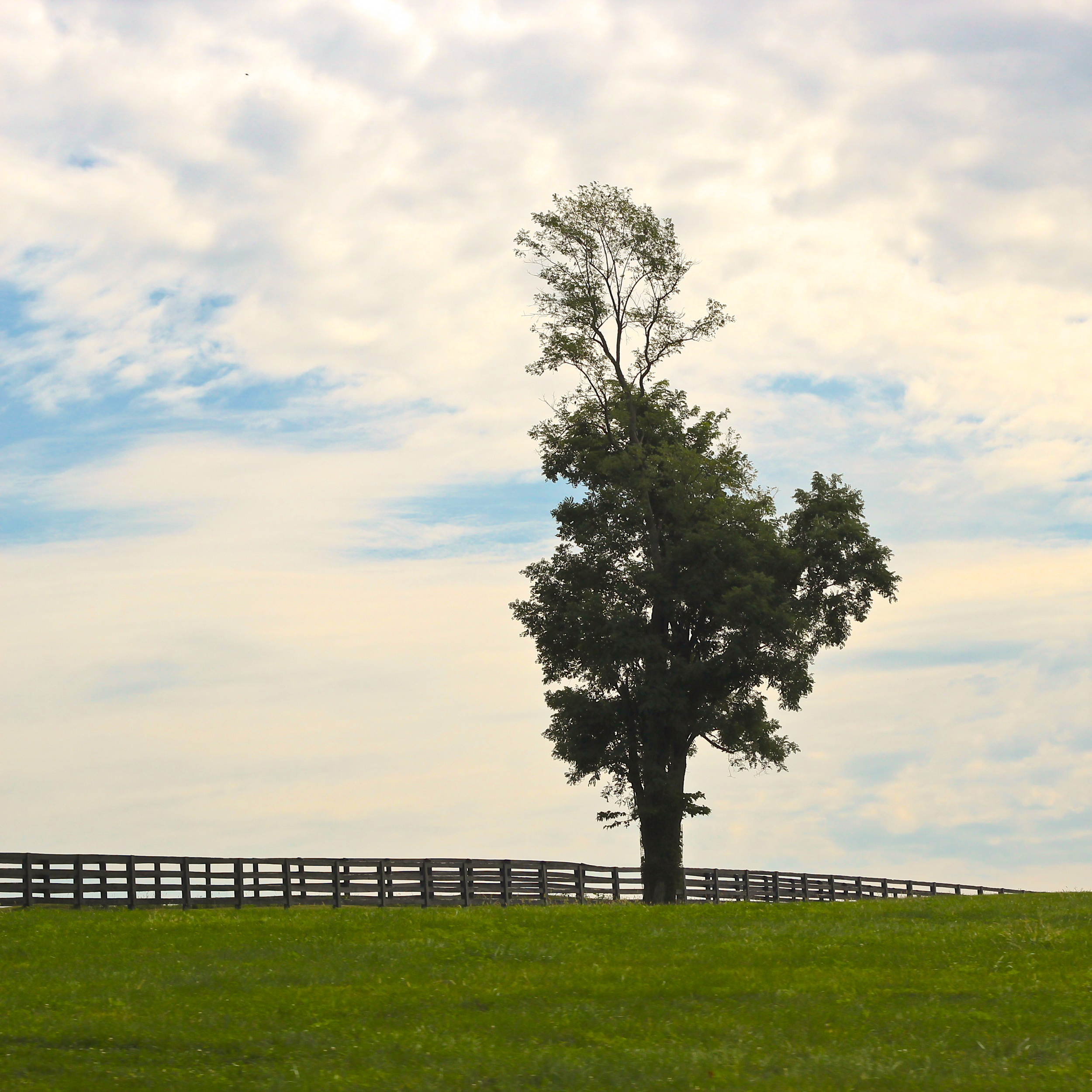 lone tree in the Bluegrass of Kentucky (landscape in green and blue)