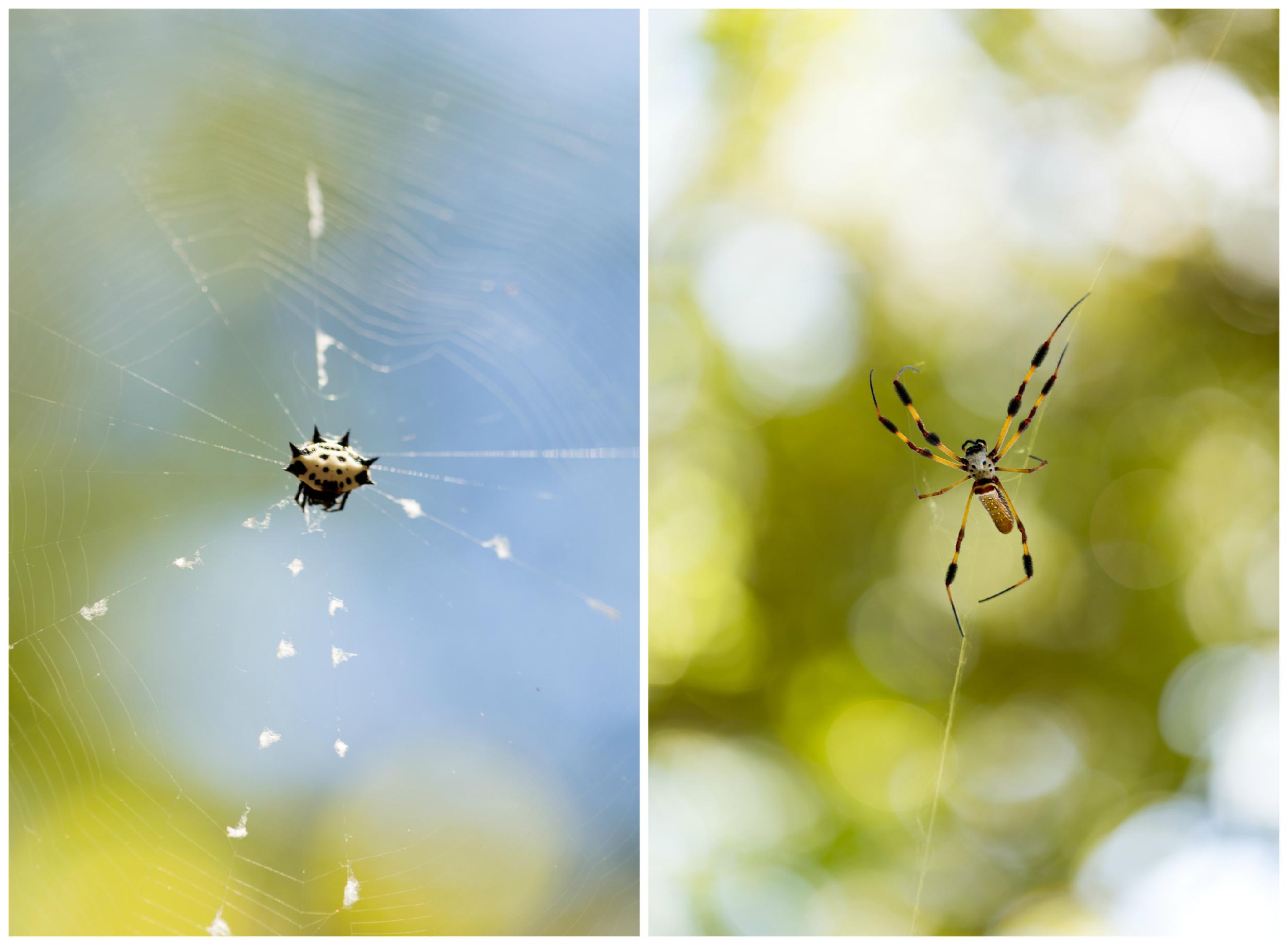 spiders in webs (macro)