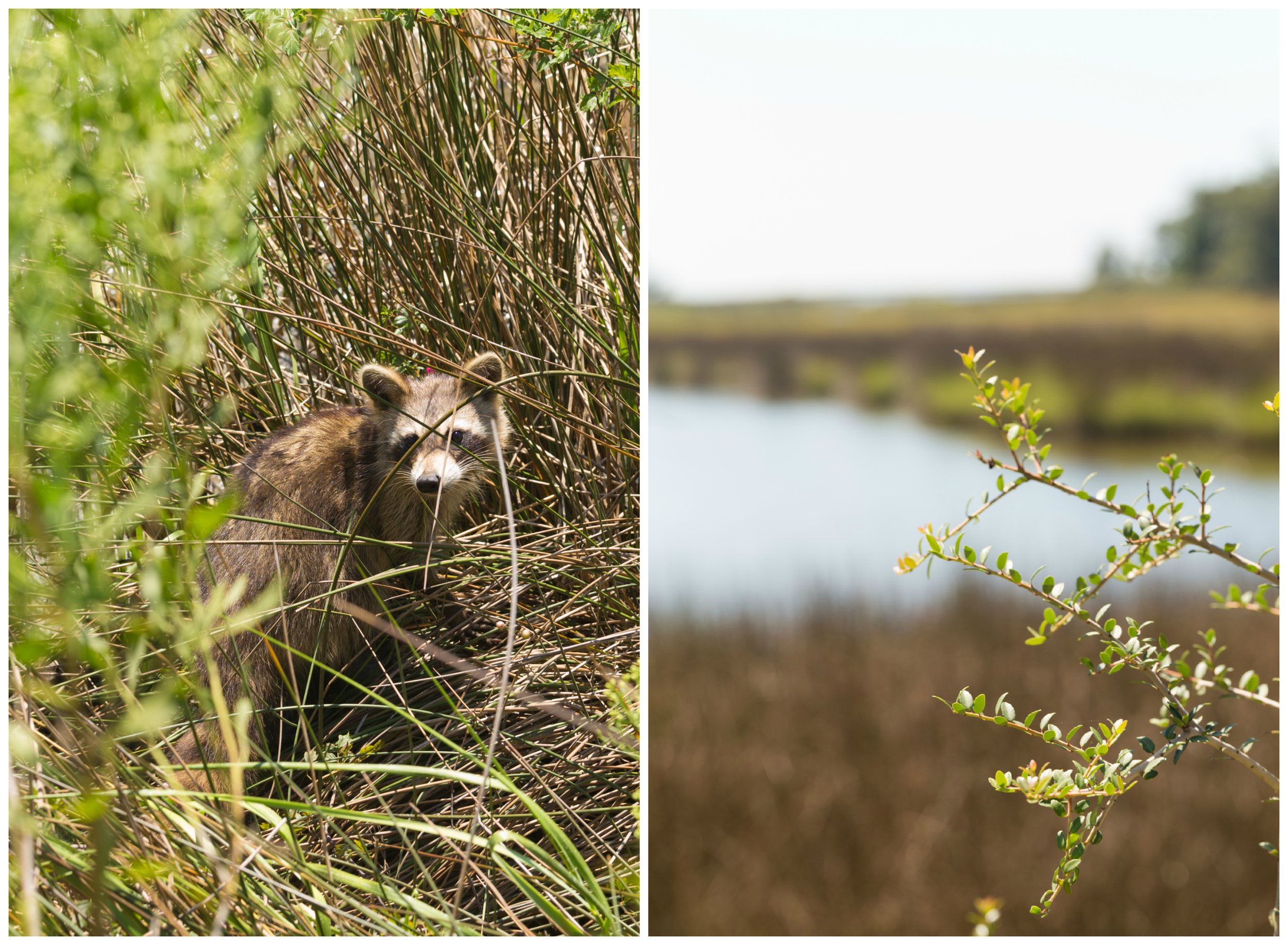 raccoon in nature in daytime