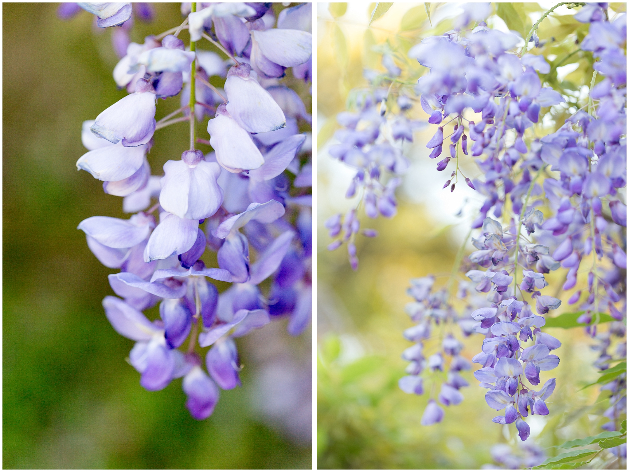 beautiful wisteria flower blooms