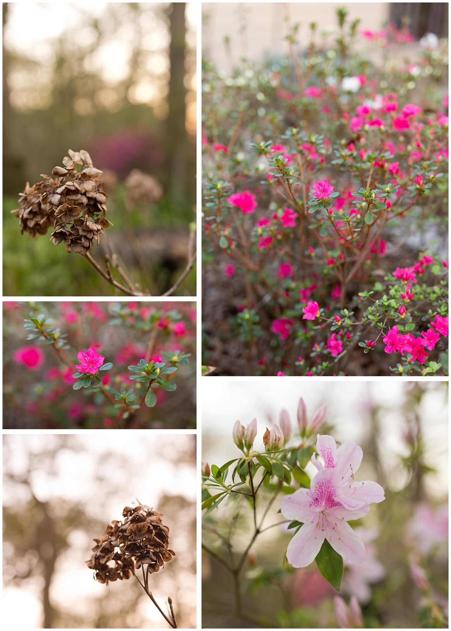 March flowers in Ocean Springs, Mississippi (azaleas and dead hydrangeas)