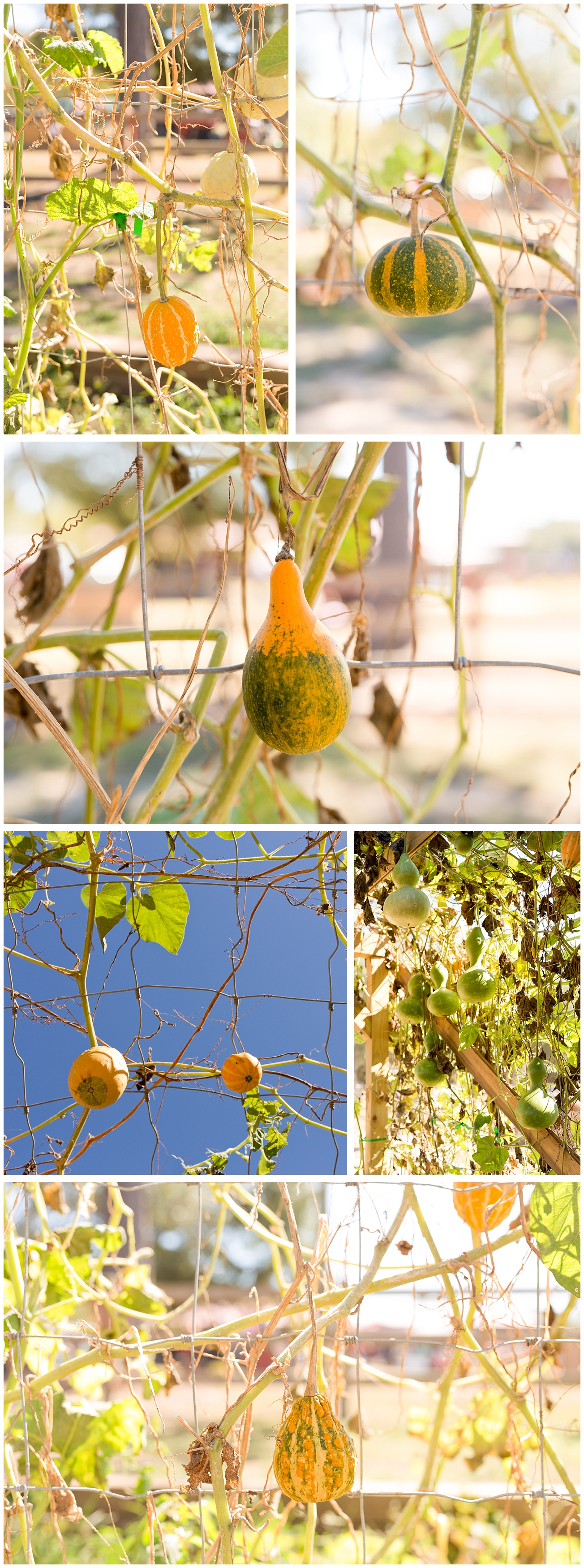 gourds on vine at pumpkin patch