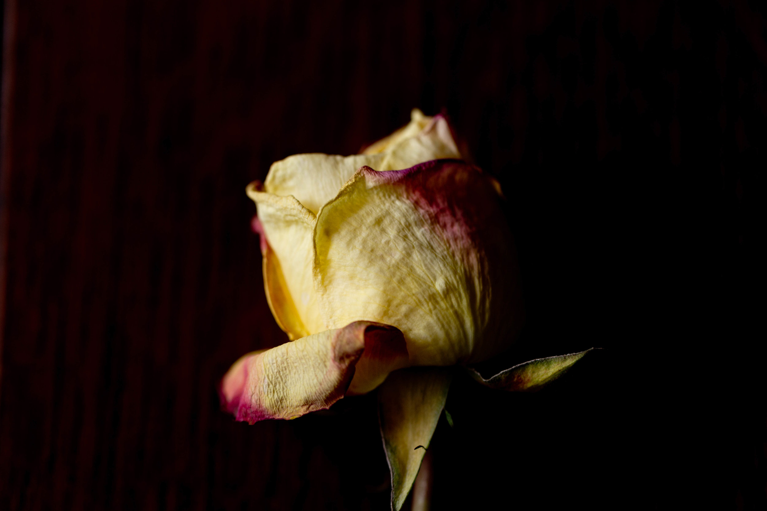 dark, moody photo of dying rose (Uninvented Colors Photography)