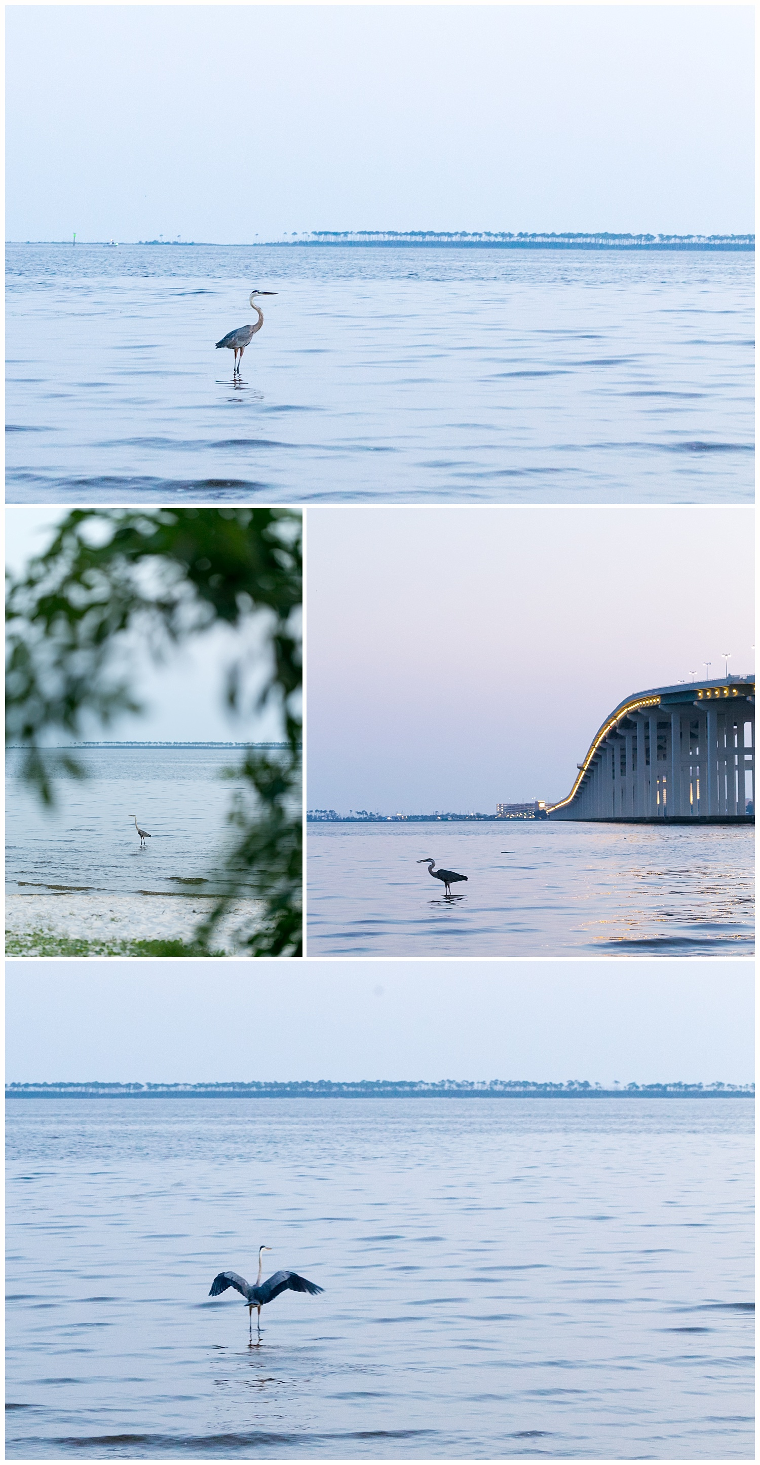 great blue heron on Front Beach in Ocean Springs - Mississippi Gulf Coast bird photography
