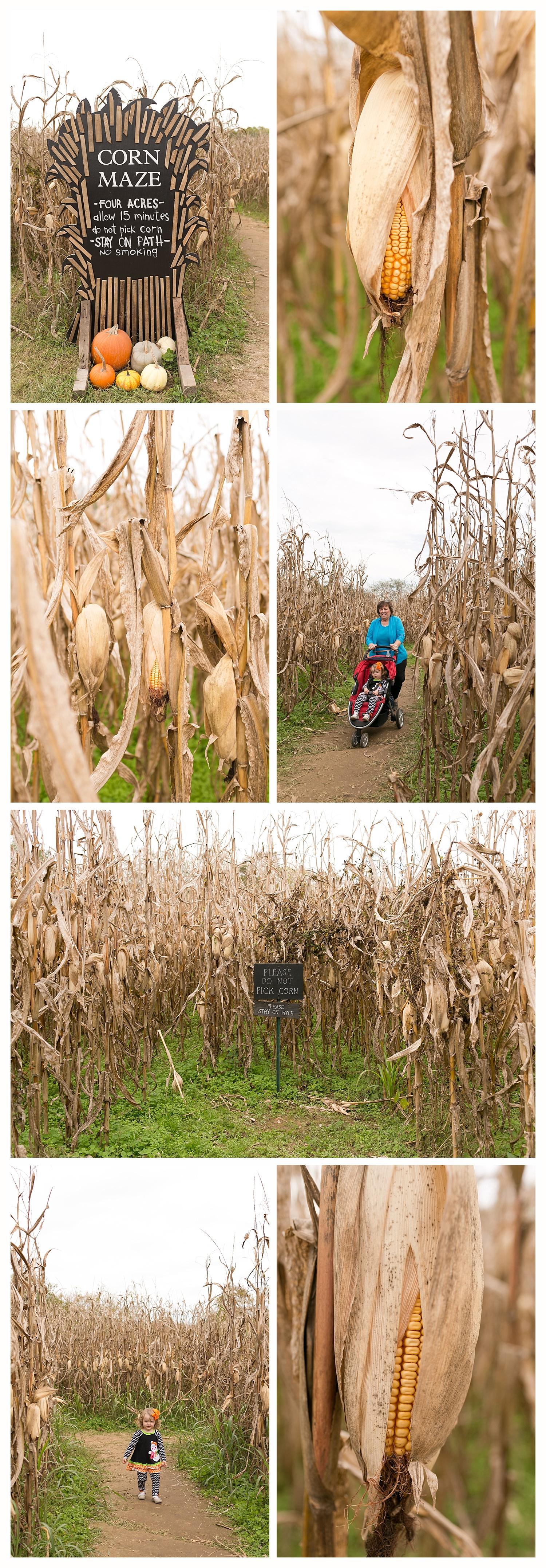 corn maze at Gentry's Farm