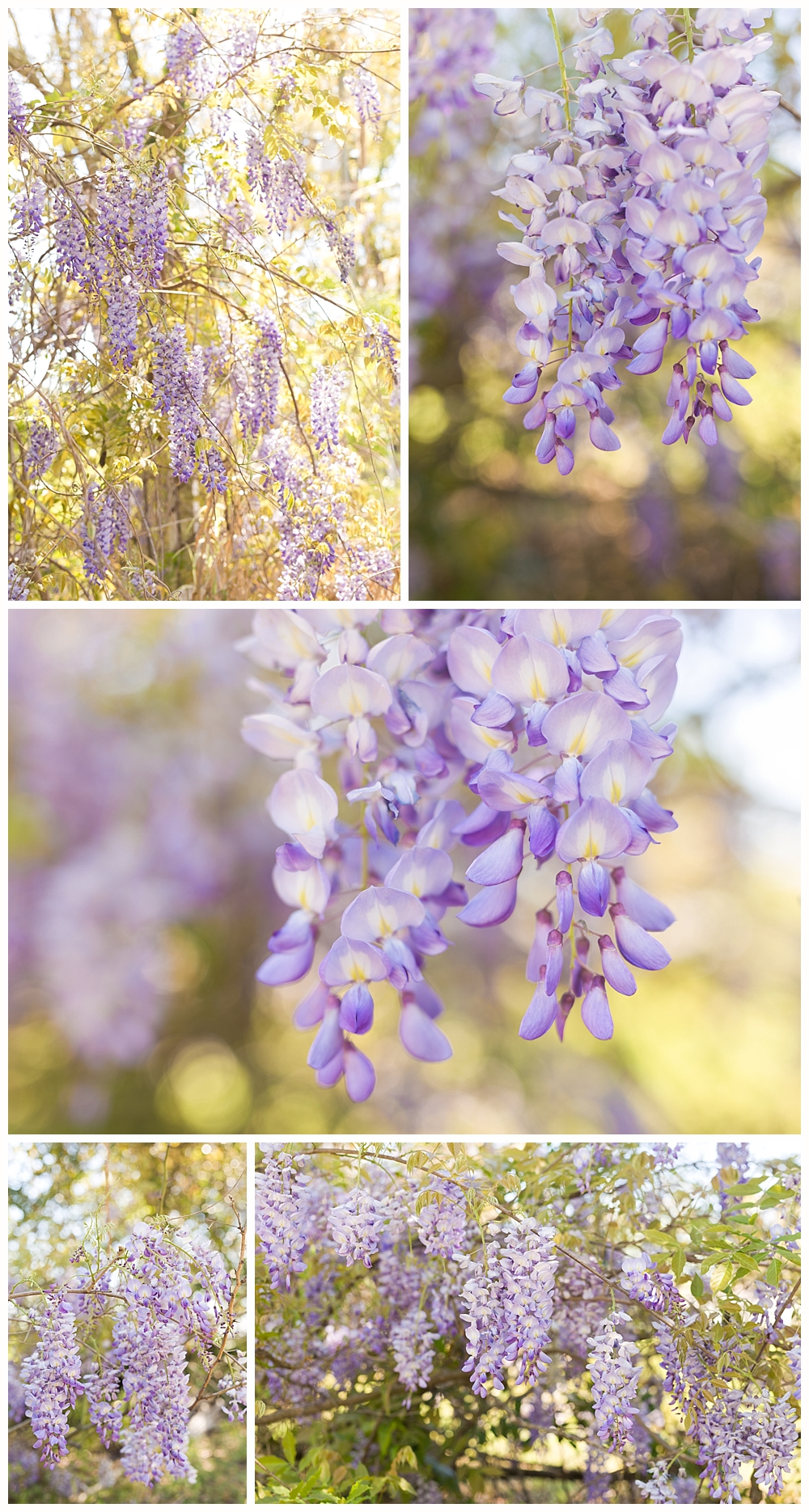 beautiful wisteria photos taken on the Mississippi Gulf Coast