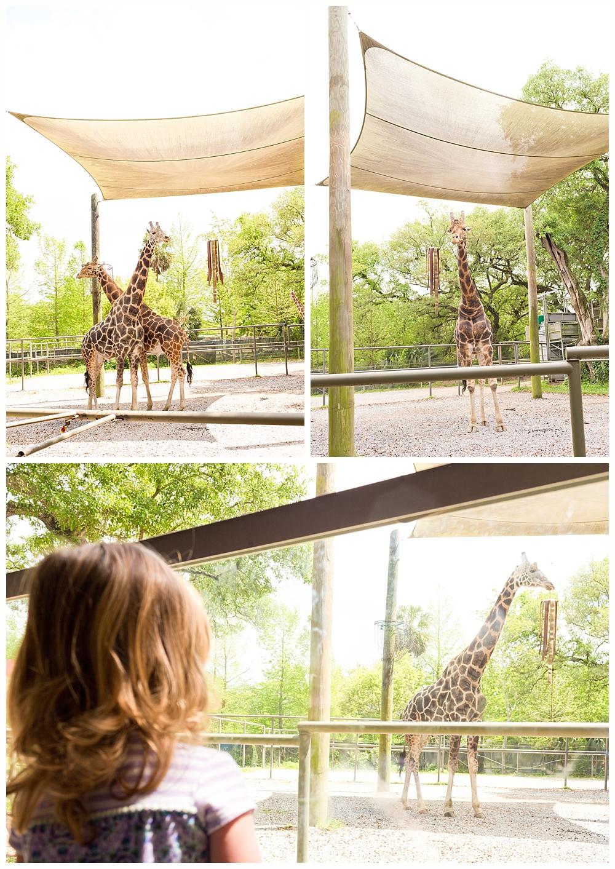 giraffes at Audubon Zoo New Orleans