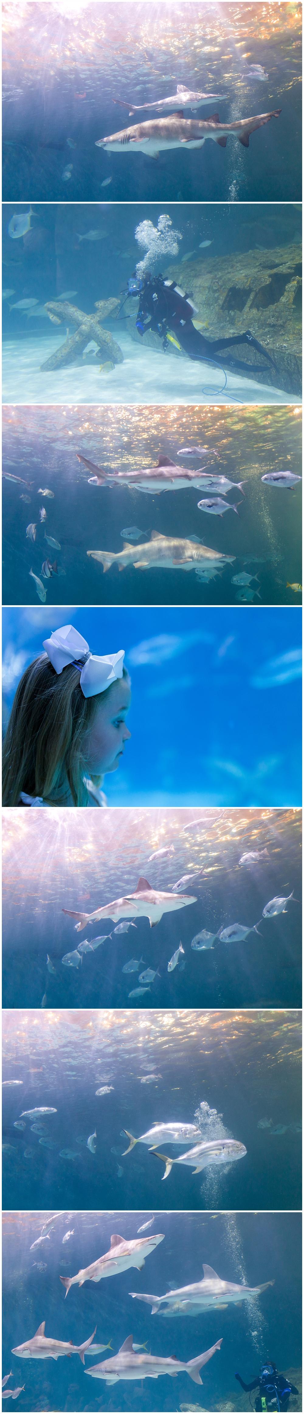 sharks and scuba diver at North Carolina Aquarium on Roanoke Island