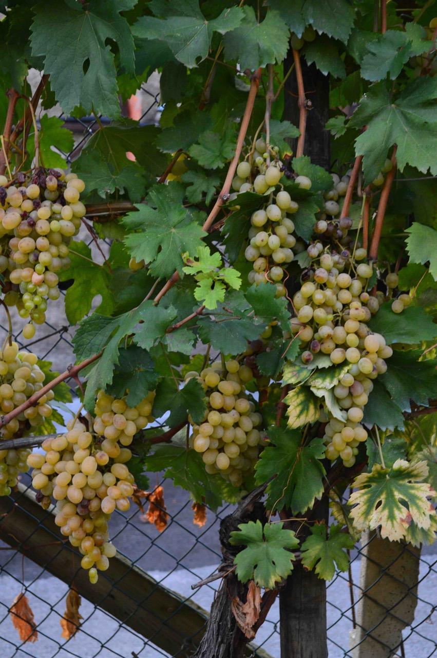 grapes-lo.jpg