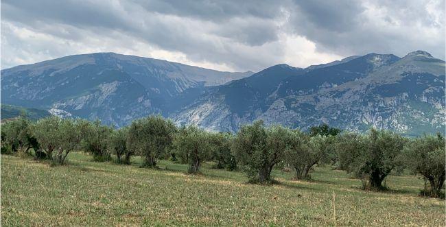 olives and mts. abruzzoIMG_5708.jpg
