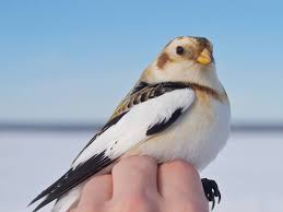 Snow Bunting : Oxford Brookes Poetry (2017) - https://www.brookes.ac.uk/poetry-centre/weekly-poem/weekly-poem-for-21-february-2017/