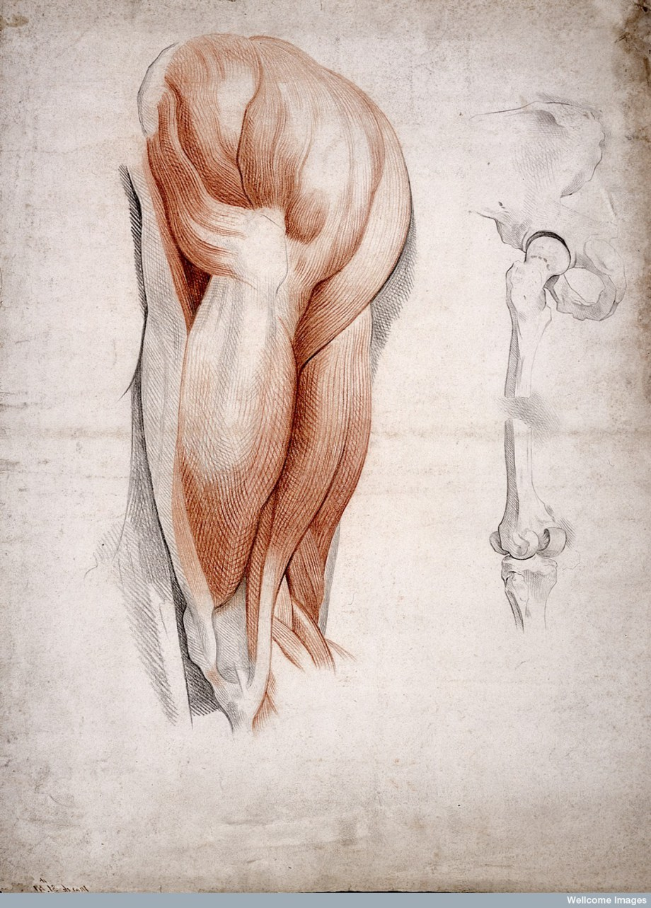 The Bones and Muscles of the Hip and Thigh, 1841 (Wellcome Library).