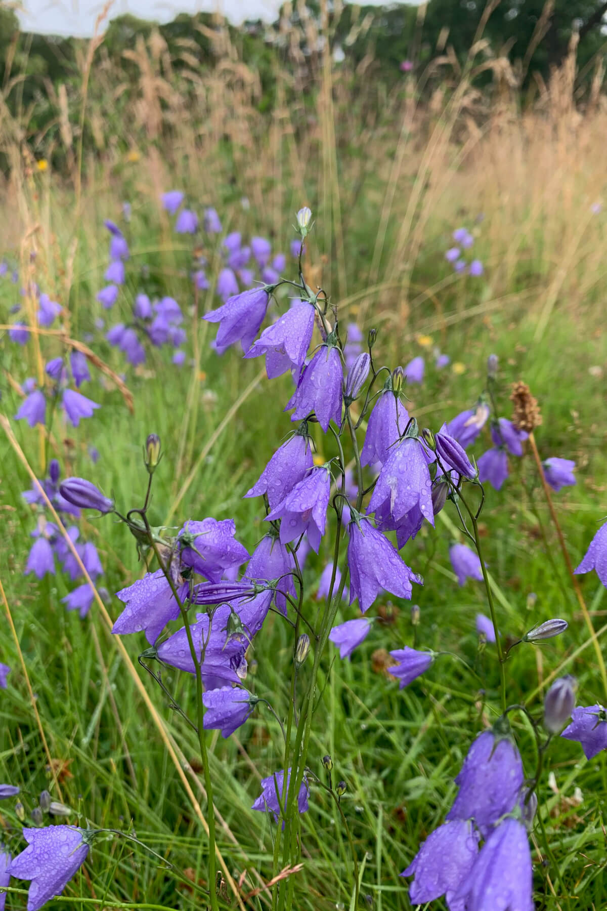 Harebells in the Scottish Borders.jpg