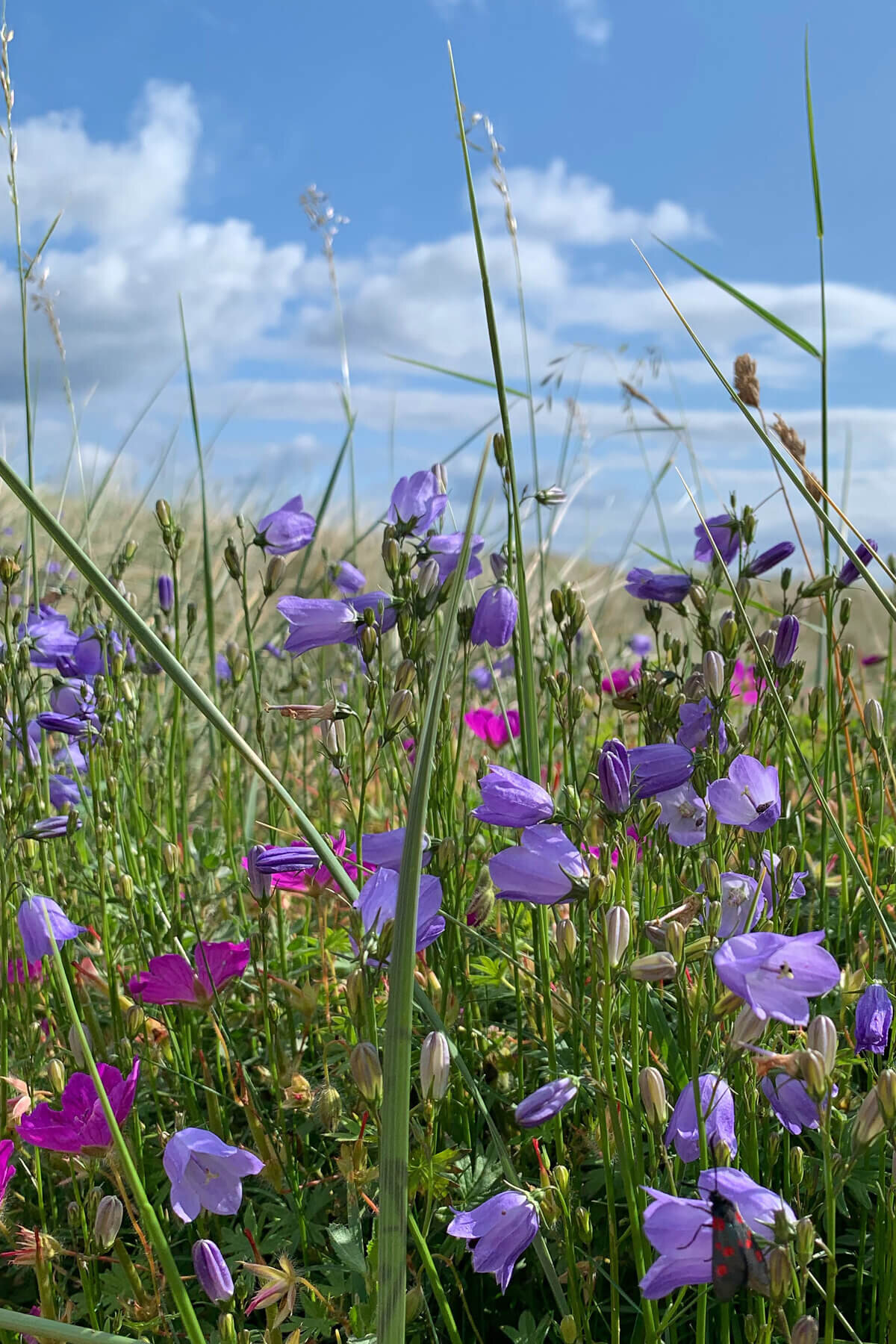 Harebells and Pink Cranesbill