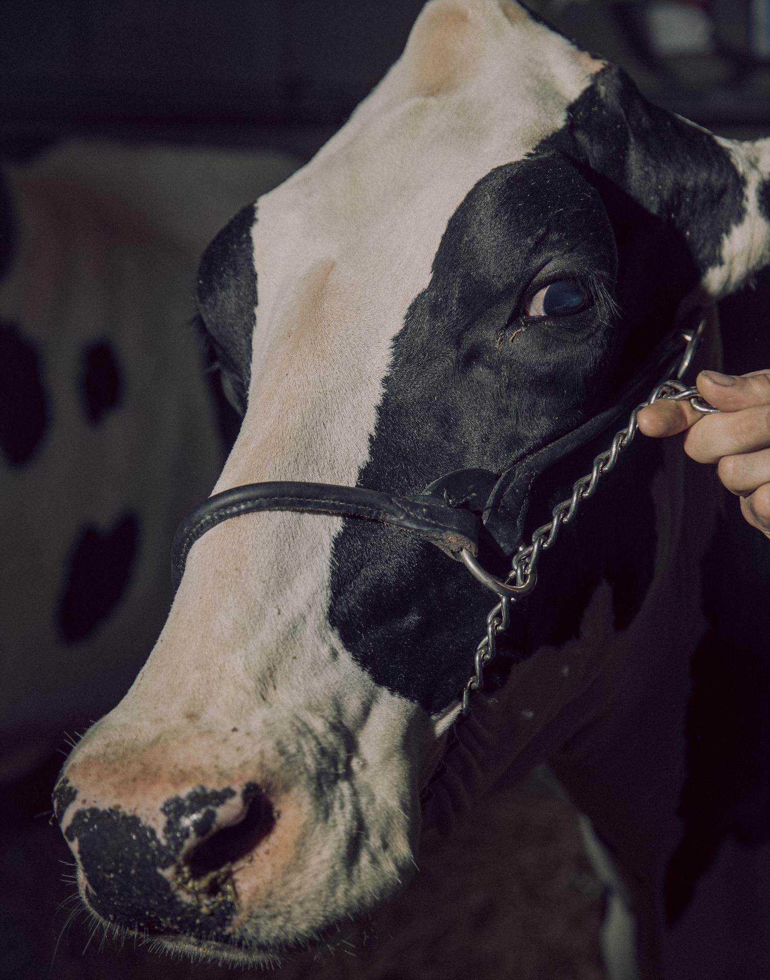 Pr�mieko fra Anderstrup Holstein i Sk�rping til Landsskuet i Herning, 2019
