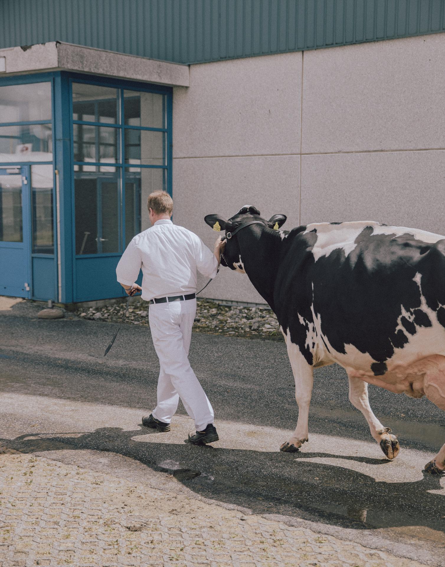 Senere vinder af Miss Danmark 2019, Danmarks smukkeste malkeko, til Landsskuet i Herning 2019. Her tr�kkes den rundt om hallen, inden den endelige k�ring finder sted.Koen er fra Raunh�j Dairy i Hjortsh�j.