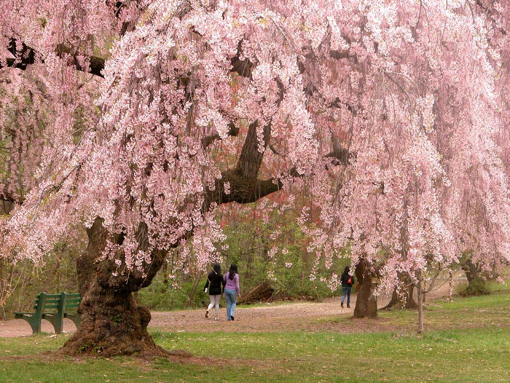 Newark_cherry_blossoms.jpg