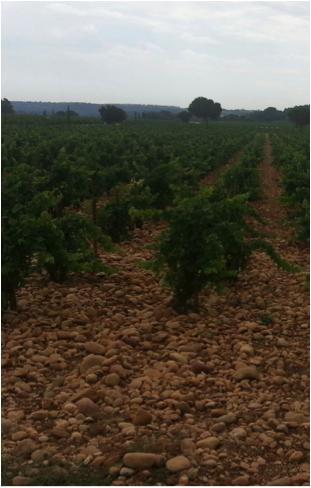 This dry, rocky soil produces some of the world's best wine! (Photo by Jeff Gibbs)