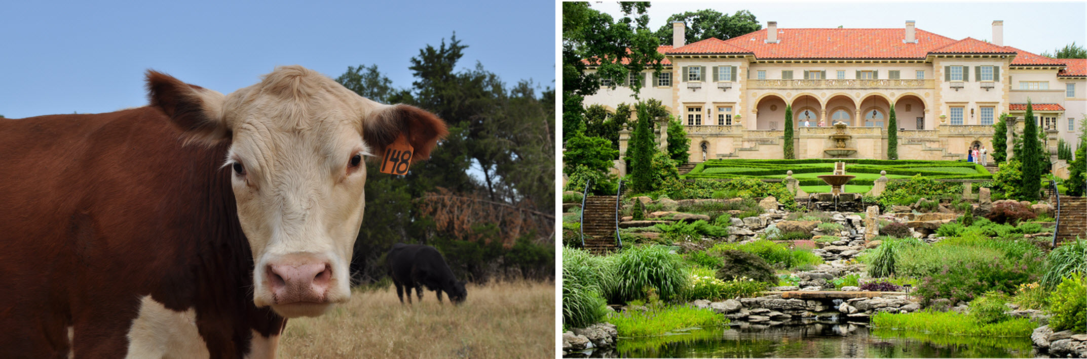 Which of the above best represents Oklahoma? Answer: Both.(Photo of cattle by Sarah Kobos and photo of Tulsa's Philbrook Museum of Art by Eric Wittman)