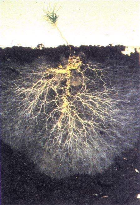 Mycorrhizal fungi. ( Source )