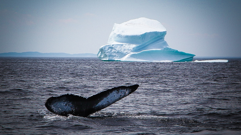 Canada's cold northern waters are a safe haven for humpback whales who travel thousands of miles to feed on the abundant caplin (Photo: Tyson Sadler)