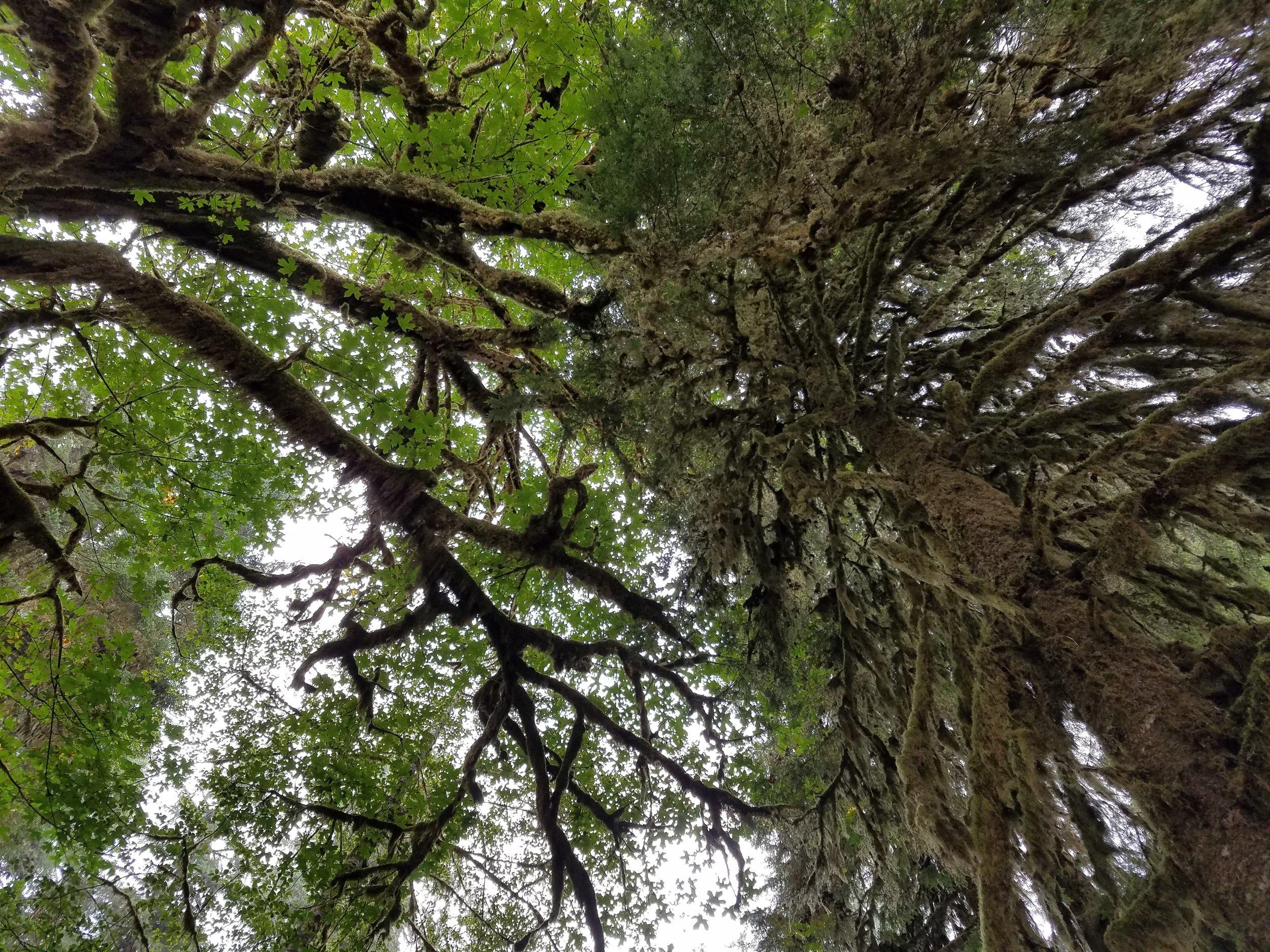 Quinault Rain Forest, WA Aug 2016