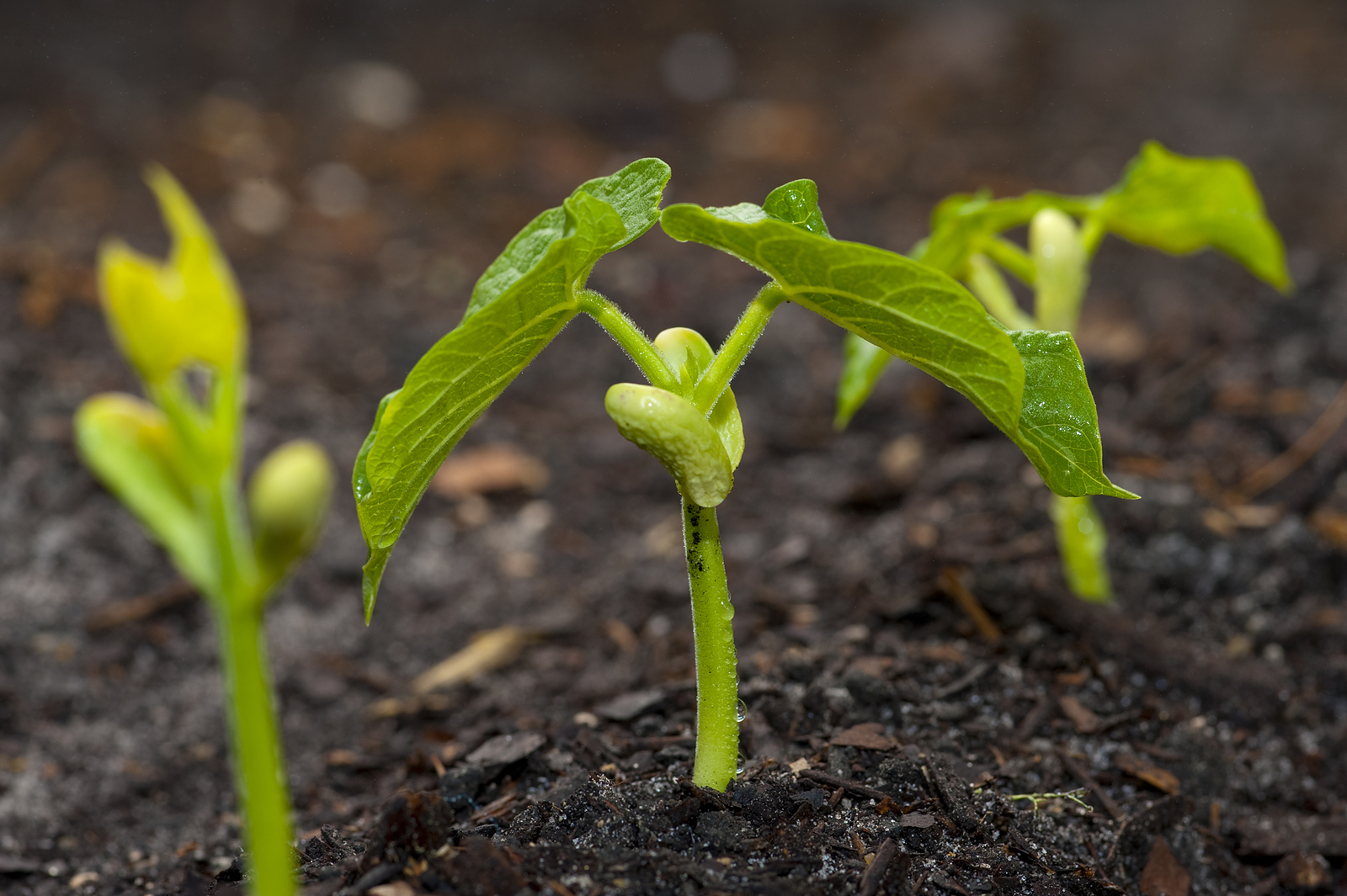 Lima bean sprouting