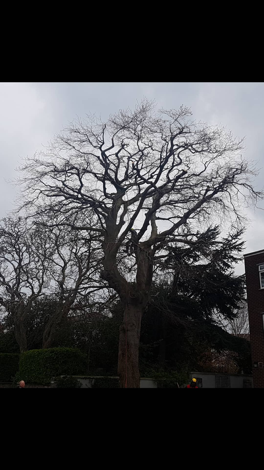 A 30% reduction on a beech tree we did for a customer in Dublin