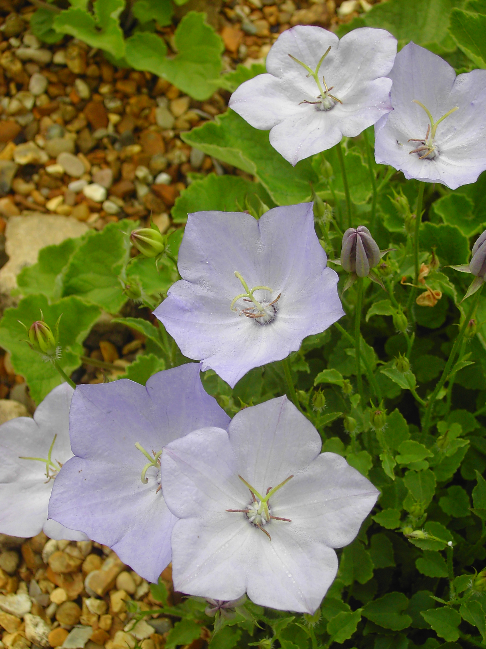 Campanula carpatica 'Blue Moonlight'